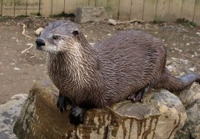 River Otter 539 by caybeach