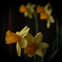 narcissus by misticloudz