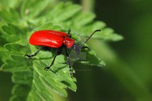 Cardinal Beetle by oliverporter3