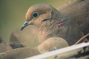 Mourning Doves 2 by Numbaholic13