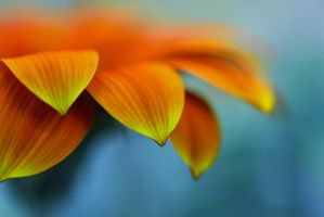 Gazania by Mars-Hill