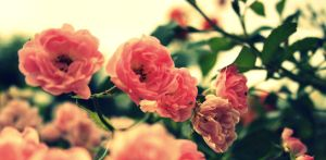 Roses by idaftw