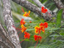 Mexican Bird of Paradise by wkdown