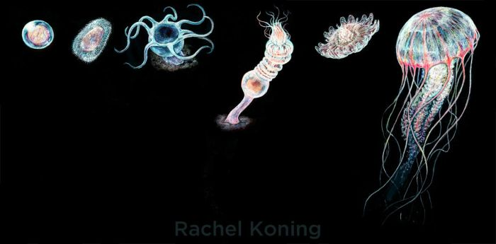 Another jellyfish life cycle by Banvivirie
