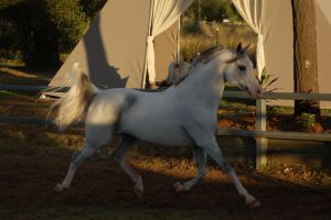 JA Arab trot side almost all shade by Chunga-Stock