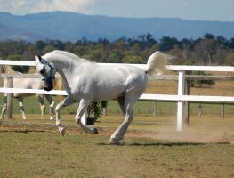 GE Arab white canter on the bit no tack side view by Chunga-Stock