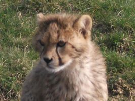 2011 - Cheetah cub portrait by Lena-Panthera