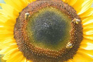Pollen Station, Bees and Sunflower 18 by Miss-Tbones