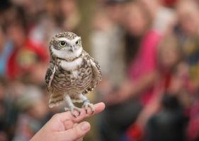 Bob the Burrowing Owl by conniekidd