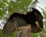 Vulture, its Wings Wide by Canislupuscorax
