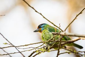 Taiwan barbet by Cecilou-chan