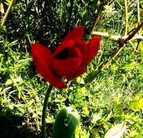 Red tulip 1 4.24.13 by Bizee1