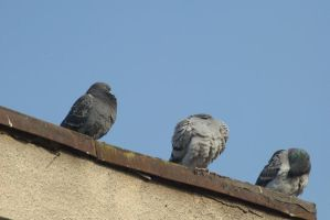 pigeons 1 by deepest-stock