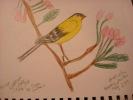 Goldfinch Drawing by aragornsparrow