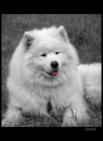 Samoyed 1 by Pawkeye