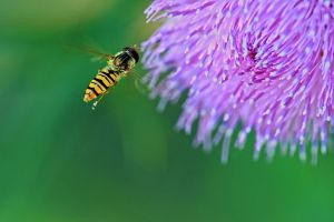 Flowerfly over thistle by organicvision