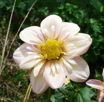 Dahlia with Crab spider,.,. by duggiehoo