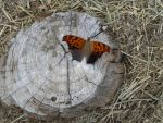 Butterfly on Stump by PoeticLeo21