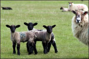 Spring Lambs by GravityLens