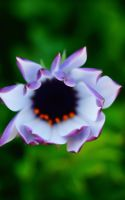 African Daisy by l0zt