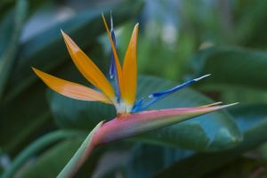 Fully Bloomed Bird of Paradise by happeningstock
