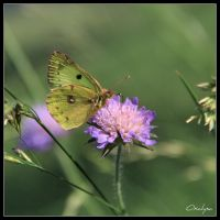 Butterfly by oxalysa