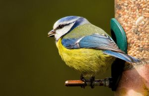 Blue Tit by parallel-pam