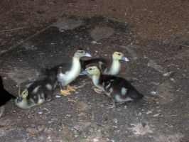 Ducklings by Bambiified