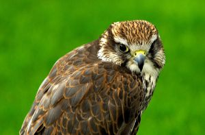 Saker Falcon by Shadow-and-Flame-86