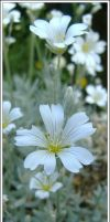 Small White Flowers by aquifer