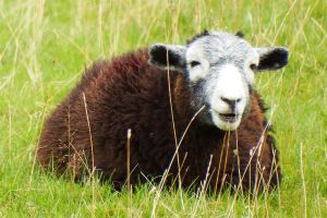 Keswick sheep 1 by wildplaces