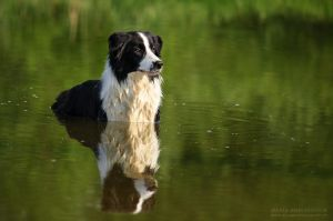 Border collie Nice by Zheltkevich