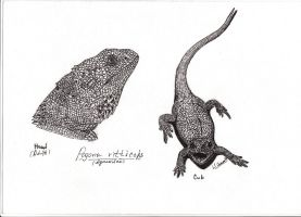 Pogona vitticeps by Xiphactinus