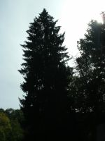 Tall Silhouetted Pine by TMcIsrael