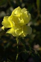 yellow rose by Su58