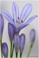 Lily of the Nile II: Closer by theBlendedPath