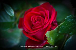 Red Rose by JYB-Photography