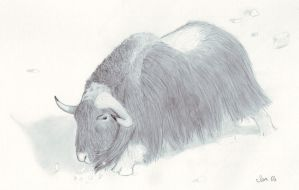 Male Musk Ox by samrhodes