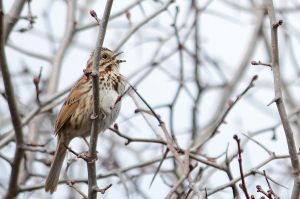 Song Sparrow singing by GuillaumGibault