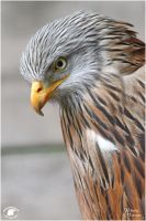 2011-37 Red Kite Thimmy by W0LLE