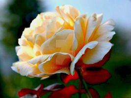 Rose-8 by KF53