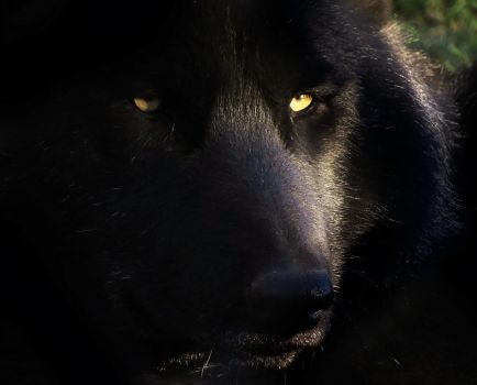 Timber Wolf Stock 11 by HOTNStock