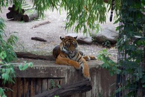 tiger0002 by Tosca-stock