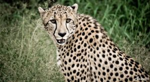 Cheetah 001 by AnneMarks