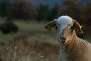 Inquisitive Goat by funkyphotographer