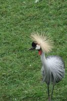 Grey necked crowned crane 2 by asaph70
