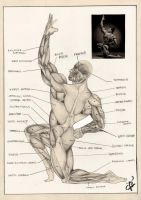 Muscles of the human body by lvito00