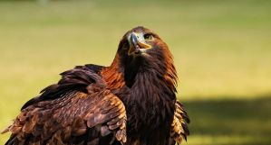 golden eagle by deoroller