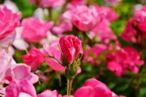 This Past Spring-Pink Flowers6 by MrsChibi