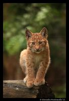Baby Lynx II by TVD-Photography